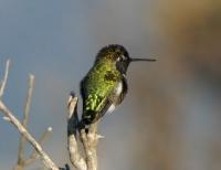 annashummingbird.jpg